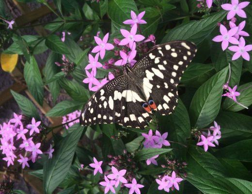 Schmetterling Schwarz Weiss